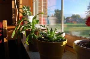 WINDOW LIFE: Succulents need sun, water and minimal maintenance. (Photo by Paige Winans)